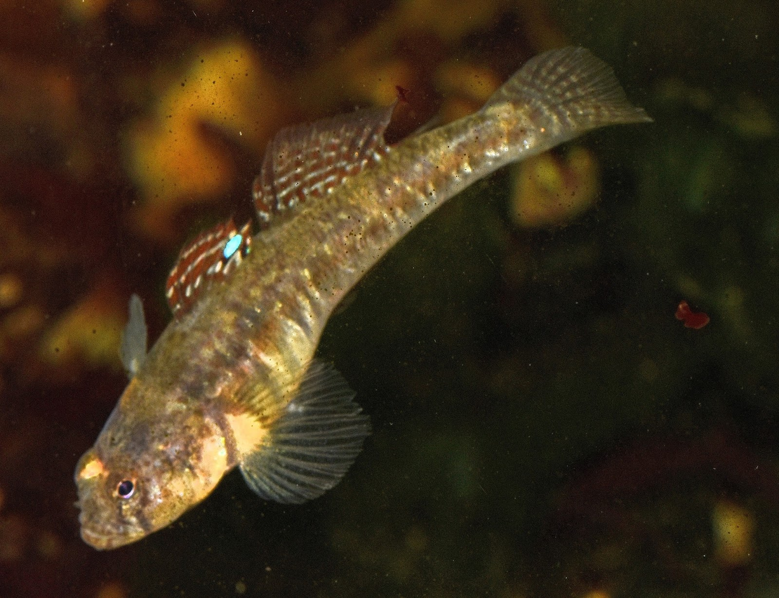 British Seashore Amp Rock Pool Life Common Goby