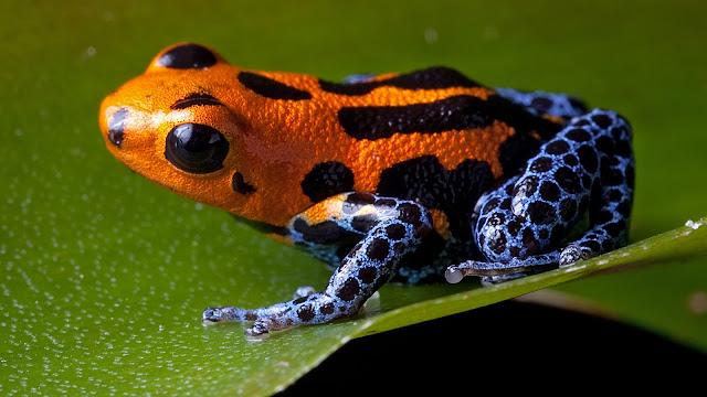 en-zehirli-hayvan-kurbağa