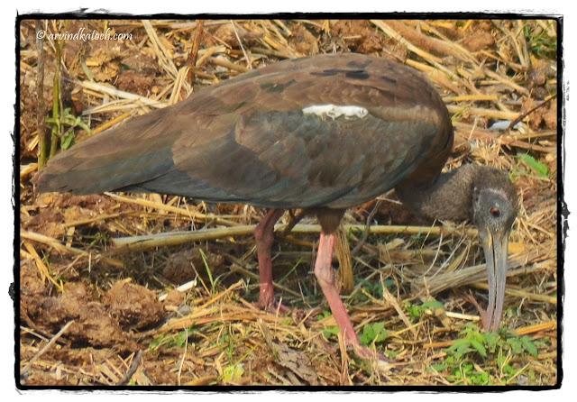 Black ibis, Indian Black ibis, Ibis,