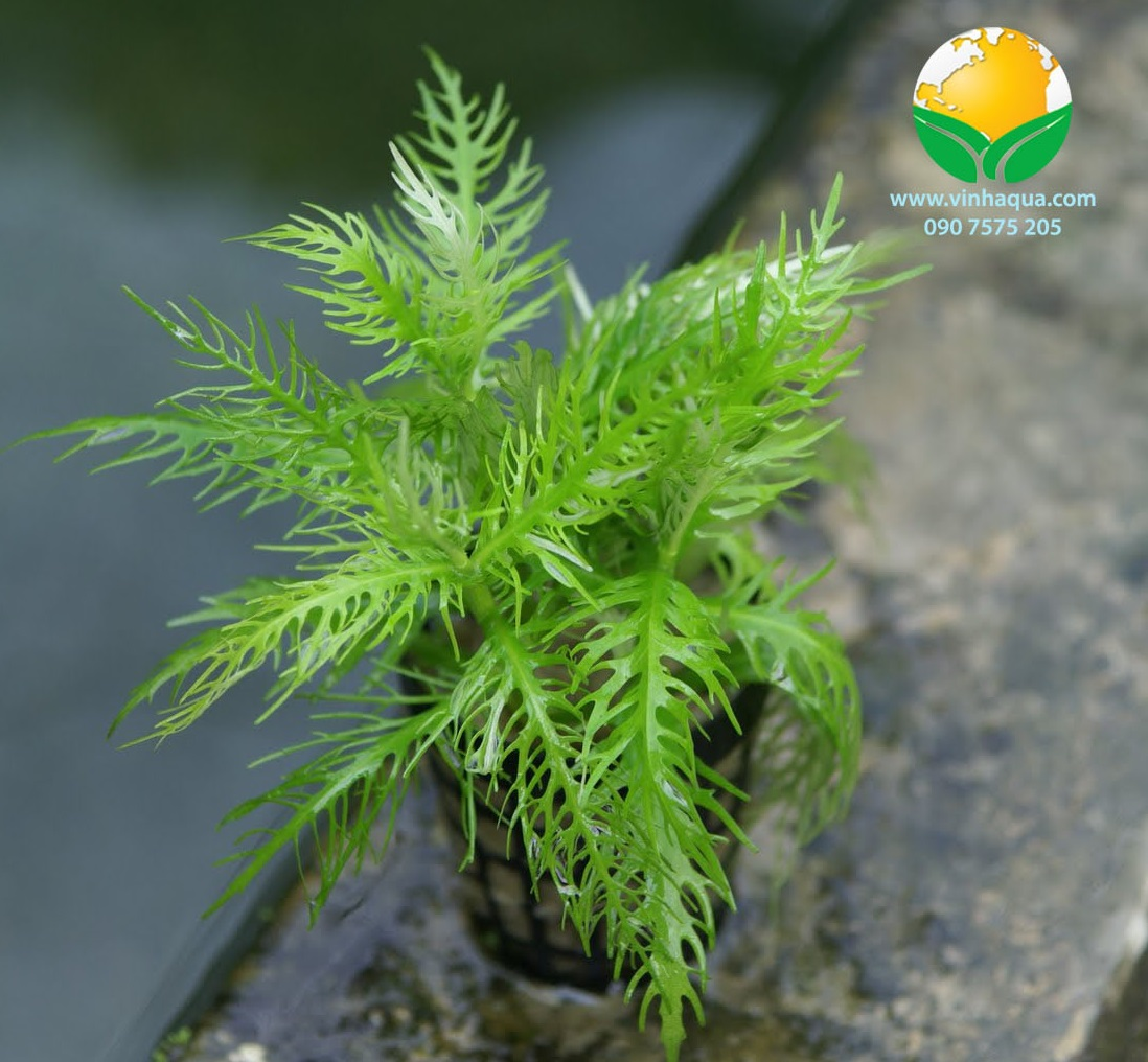 Phụ kiện thủy sinh - cây liễu thơm trồng hậu cảnh