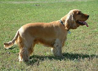 English Cocker Spaniel-pets-dog breeds-pet-dogs