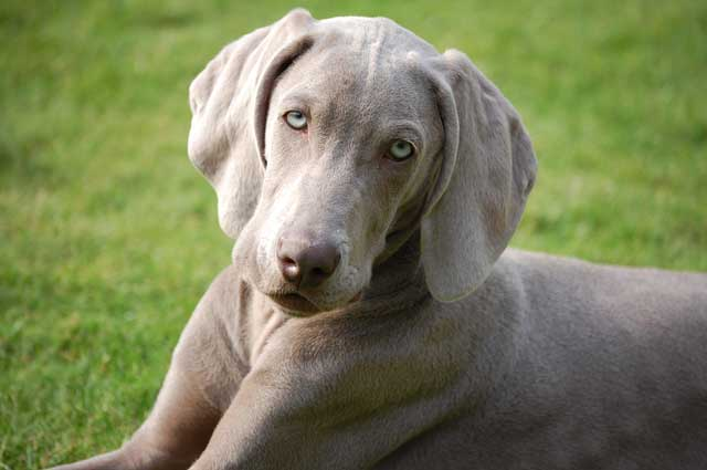 Weimaraner Dog Breeders Uk