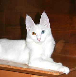 Harga kucing anggora terbaru dan terupdate