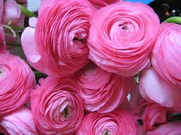 St Anne S Florist And Gift Baskets Perth Ranunculus Are In Season