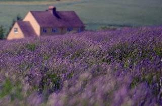 Foto Bunga Lavender Ungu yang Indah 11