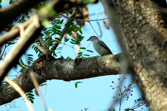Black-headed Cuckooshrike - female