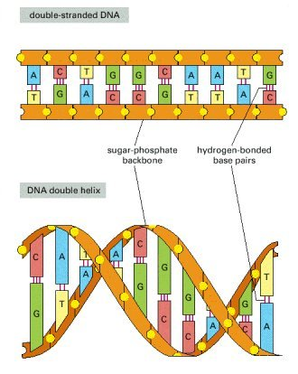 Structure Of Dna Diagram Labeled