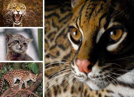 South American wild cats find hope in a test tube