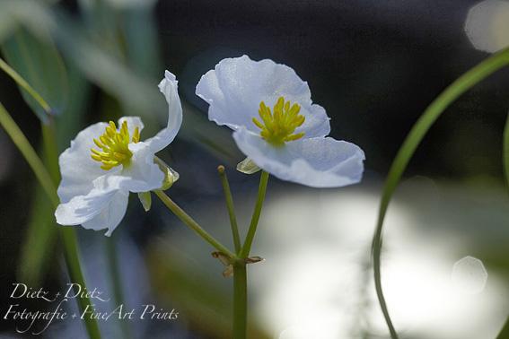 Lanzettblättriges Pfeilkraut (Sagittaria lancifolia)