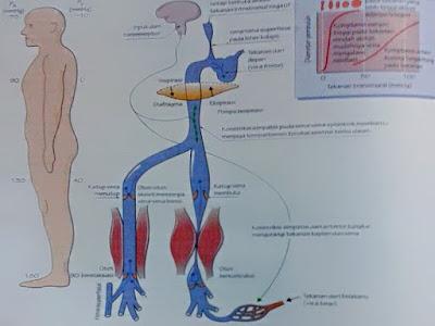 Gambar Anatomi Fisiologi Dan Jaringan Cairan Tubuh Manusia