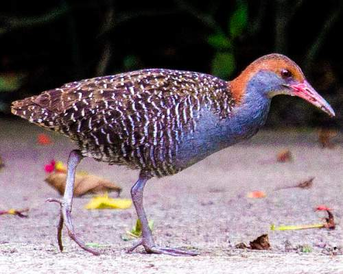 Indian birds - Slaty-breasted rail - Lewinia striata