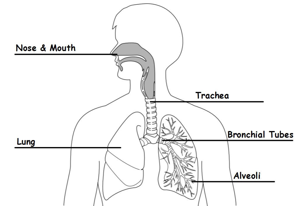 Science 7: Respiratory and Circulatory Diagrams