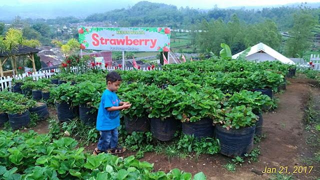 Kebun Wisata Strawberry