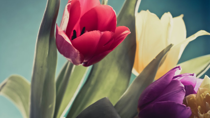 Tulips are Beautiful Flowers HD