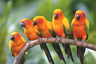 ciri ciri lovebird mabung,perawatan lovebird setelah mabung,lovebird mabung pertama,cara merawat lovebird untuk lomba,berapa lama lovebird mabung,perawatan lovebird lomba,