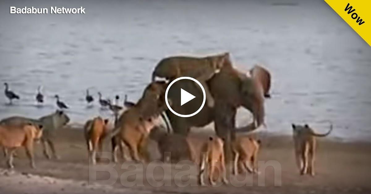 elefante leones ataque sobrevivio video impresionante feroz peligro