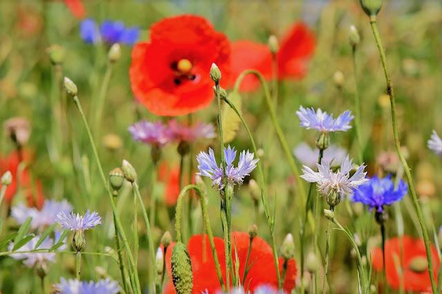 Coquelicots champs de fleurs