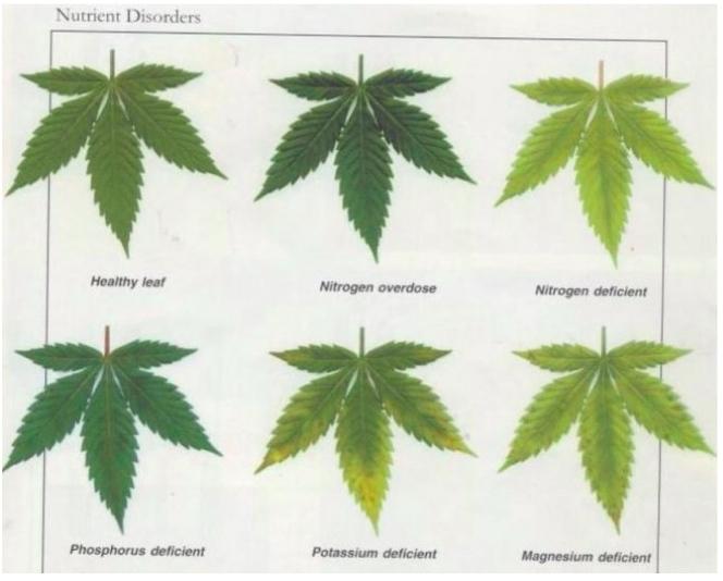 Chart Nutrient Plant Corn Deficiency