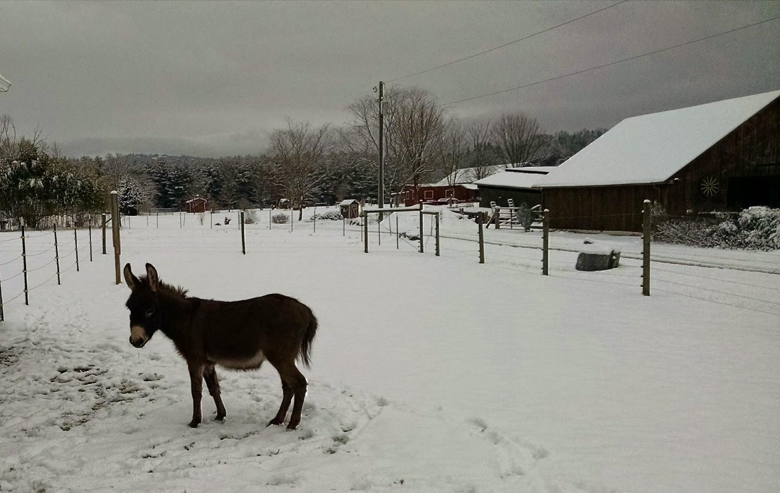miniature donkey in the snow in north carolina