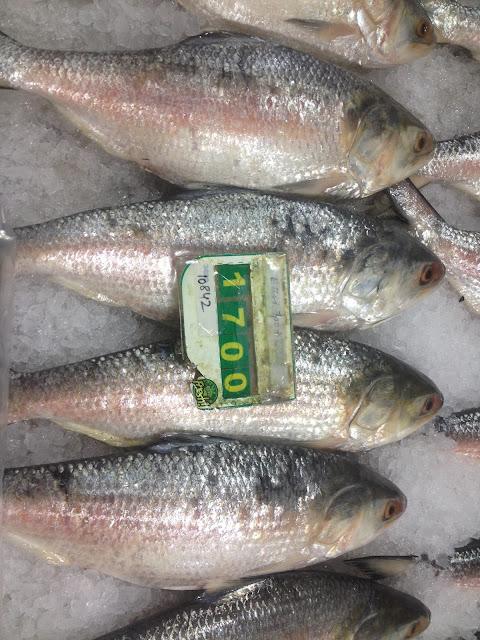 Medium size Hilsa fish