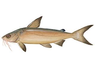 Jenis - Jenis Ikan Air Laut Ekonomis Penting [Bagian 1]