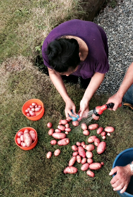 Washing fresh picked potatoes in Norway