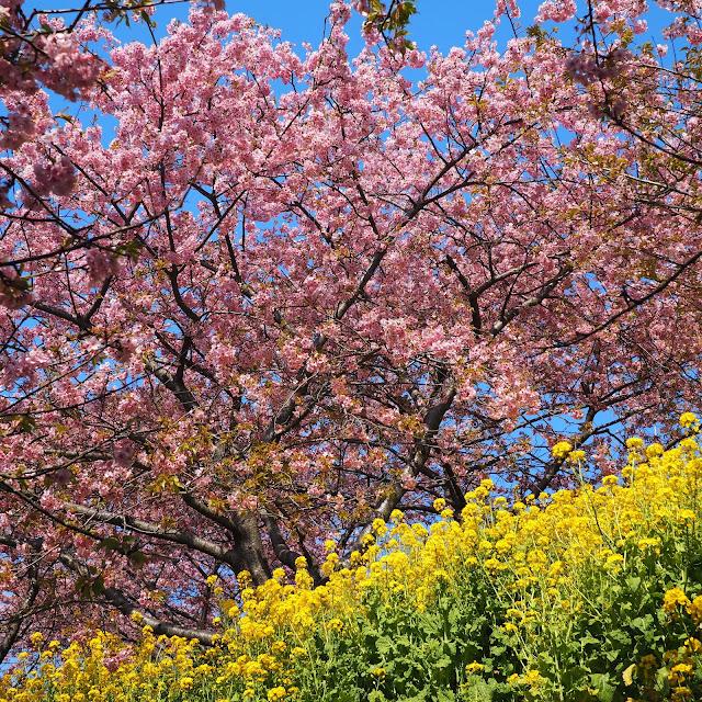 西平畑公園 河津桜 菜の花
