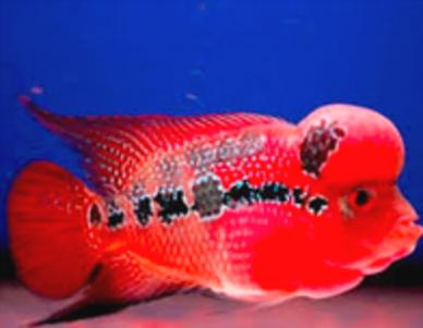 """ikan Louhan Rainbow King"""