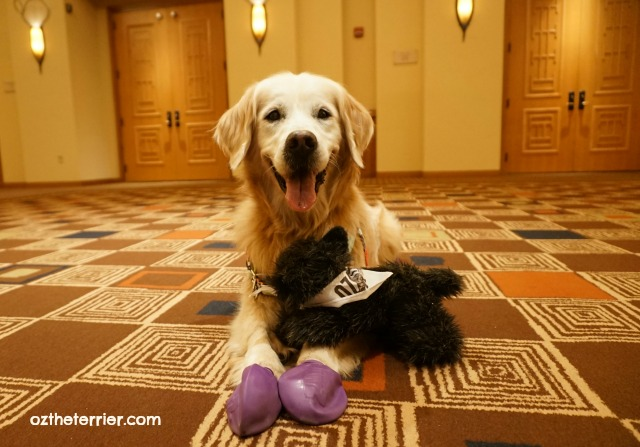 Little Oz & Sugar at BlogPaws 2016