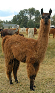 Llamas protect alpacas in the times of predators' attacks