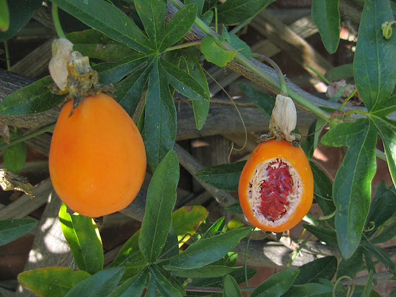 Fruit and seeds of hardy passionflower