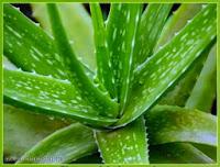 Pohon Lidah Buaya | Aloe barbadensis Milleer | Jual tanaman hias