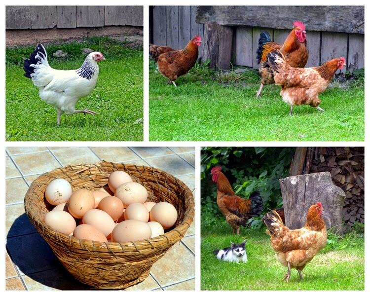 kury, grill, wiejskie kury, wiejskie jajka, danie z grilla, szaszlyki