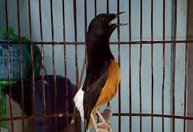 Manfaat Jangkrik Kering Untuk Burung Berkicau