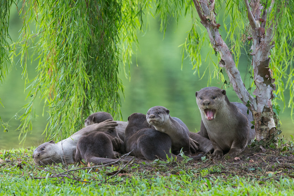 Mr Sivasothi said the otters gained popularity in 2014 when they were spotted in the Marina Bay area and then Minister for National Development Khaw Boon Wan made a blog post about it.