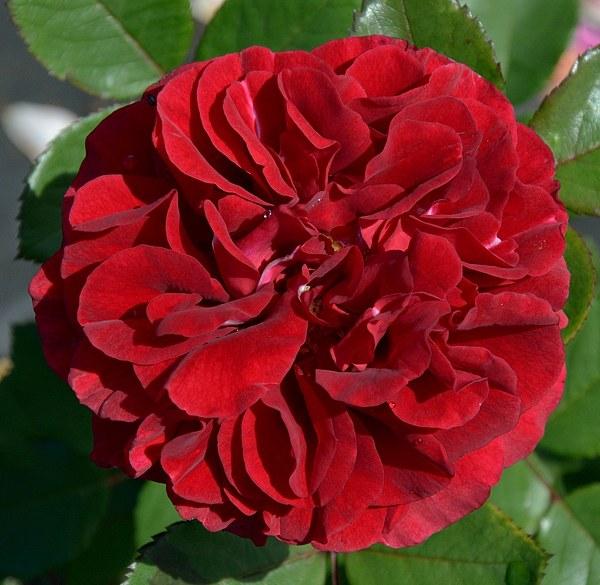 Nadia Renaissance сорт розы саженцы купить Минск