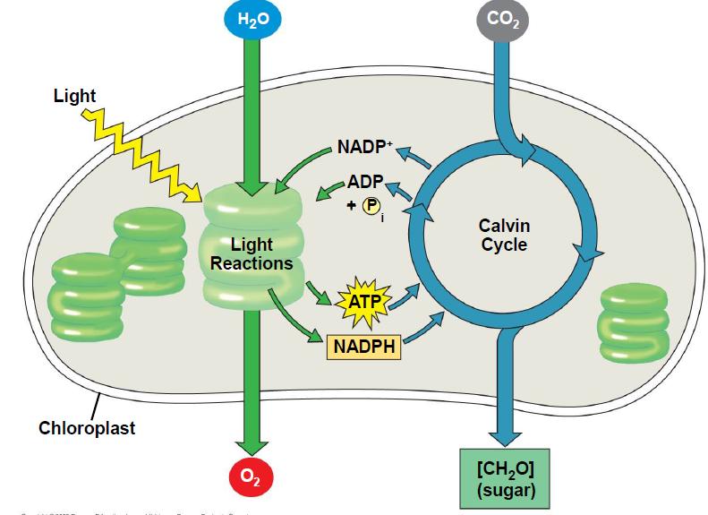 Pengaruh Cahaya Matahari Terhadap Proses Fotosintesis