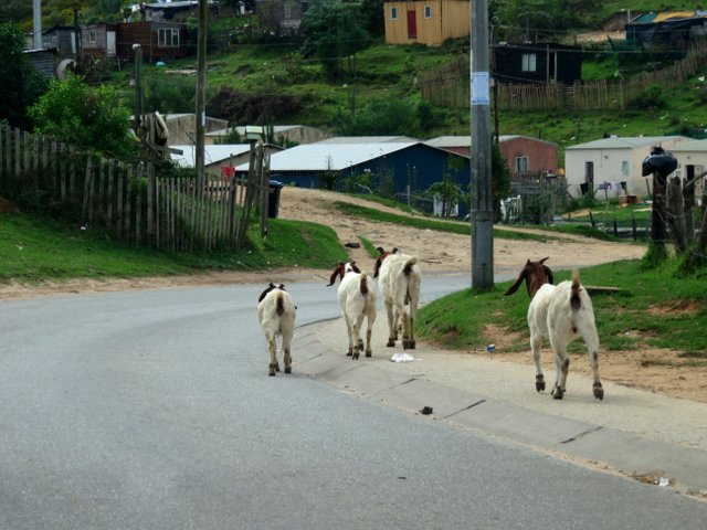 Goats on the road in the Nekkies