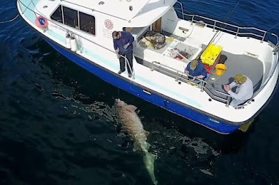 The Largest Ever Caught Shark In Europe