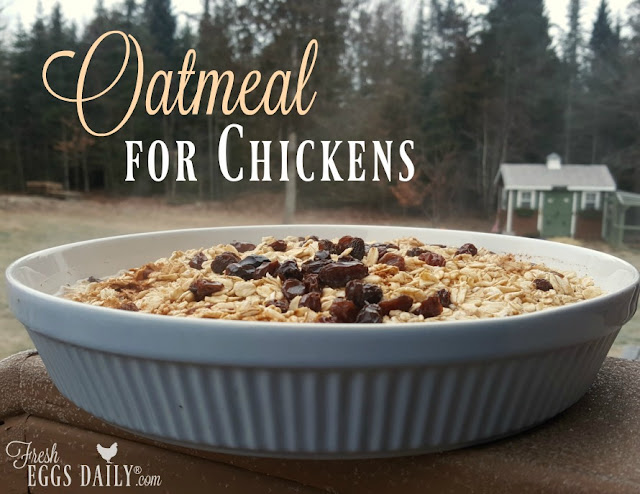 Oatmeal, chickens, treat, treats for chickens, backyard chickens, homesteading