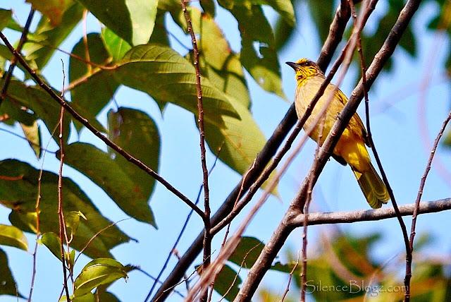Meninjau Aktiviti Burung Di Kuala Kubu Baharu | Birding Activity