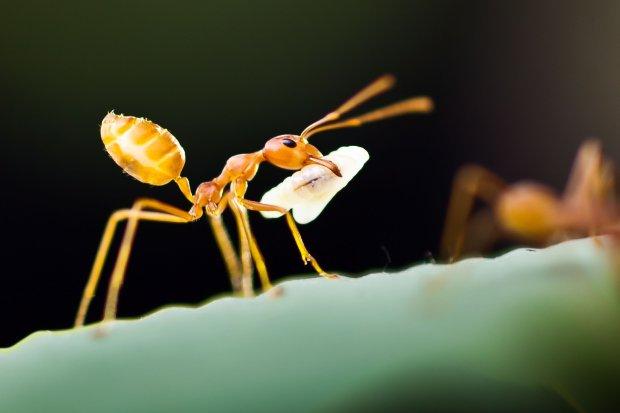 Mrówki faraona w domu - jak się pozbyć tego koszmaru!