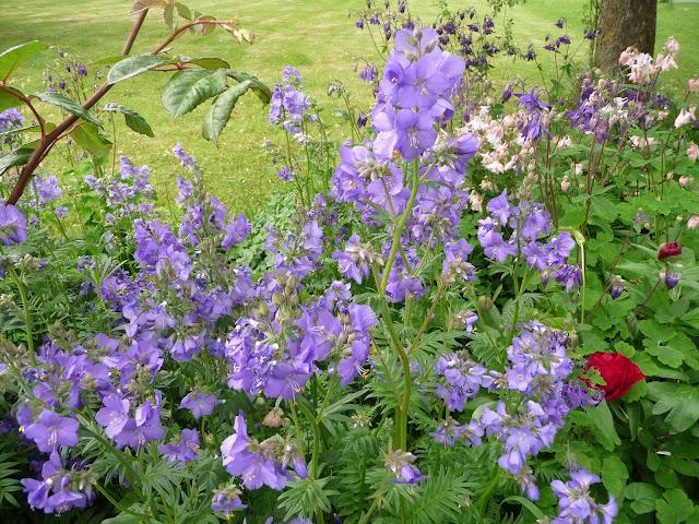 Picture of herbaceous perennial Blue border plants Jacob's ladder Polemonium caeruleum