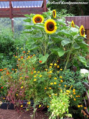 Sonnenblumen im Hochbeet