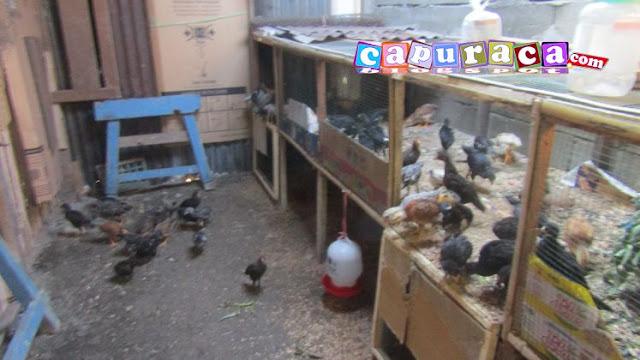 anak ayam kampung super,kandang ayam kampung