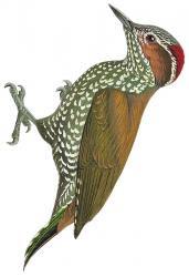 Campethera caroli