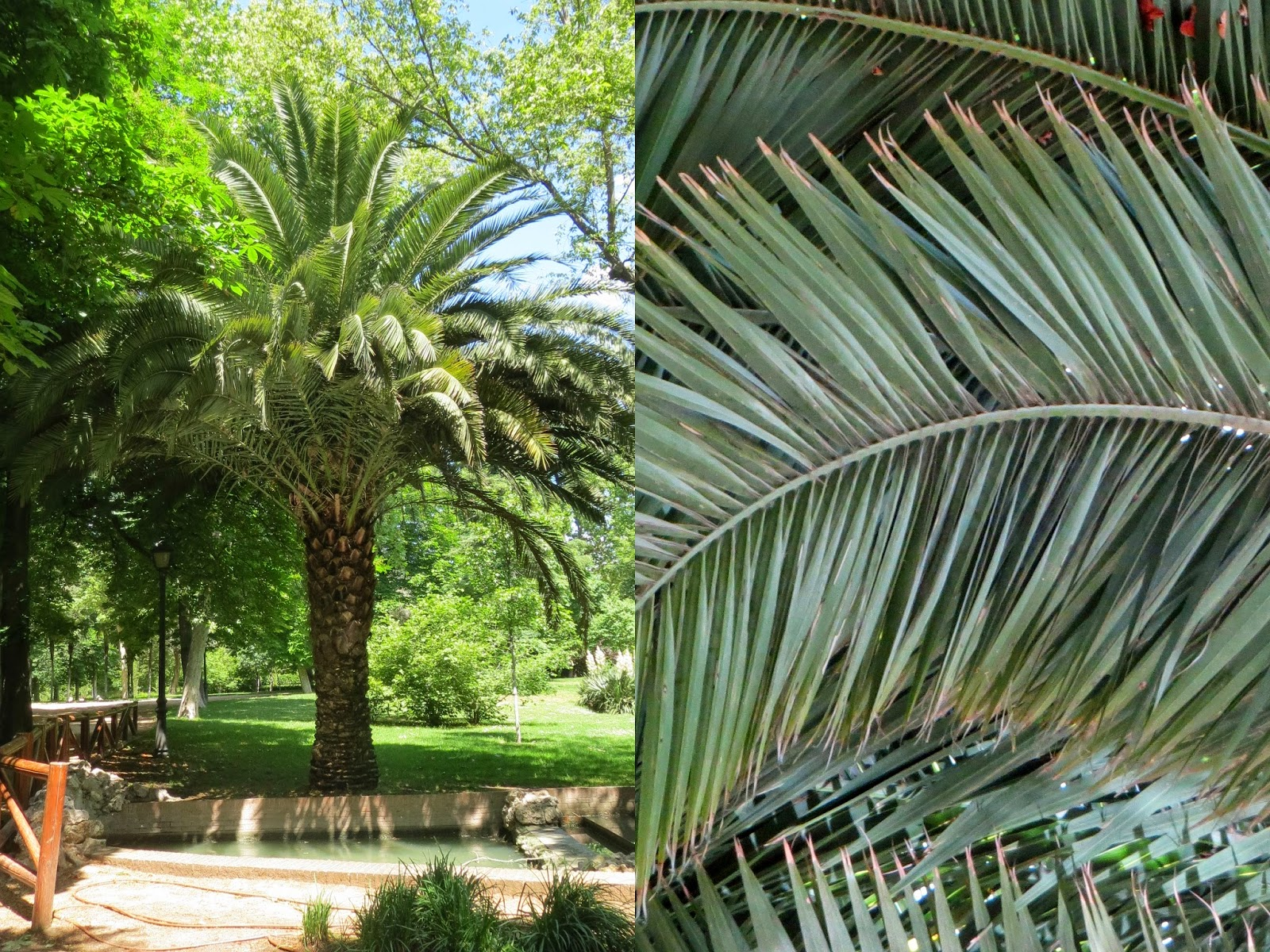 Parque del Retiro. Madrid. Olmo / Elm-tree