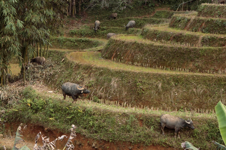 Búfalos en los arrozales de Sapa