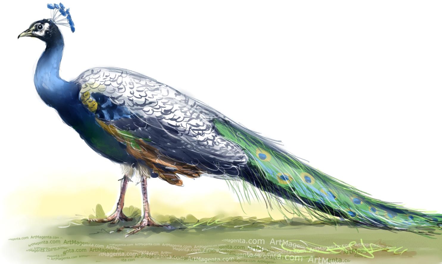 Indian Peafowl sketch painting. Bird art drawing by illustrator Artmagenta