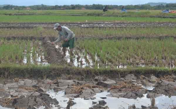 petani cikulak cirebon belum bisa tanam padi
